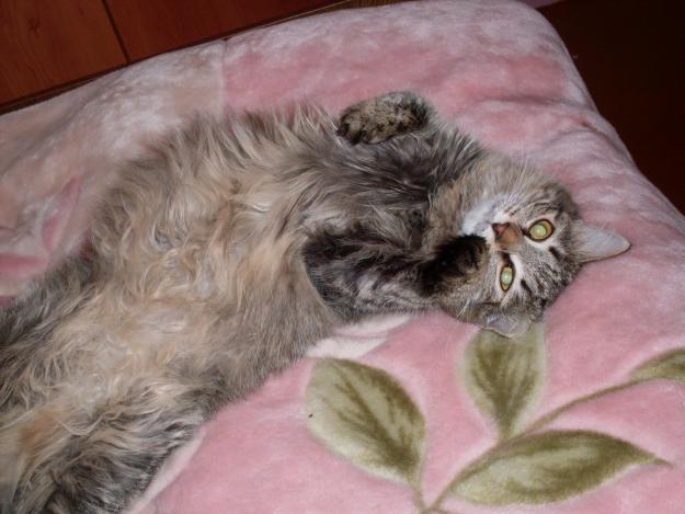 сибирская порода кошек.