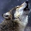 dead_night_wolf
