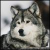 Заблудшая_Волчица