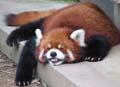 молодая Панда