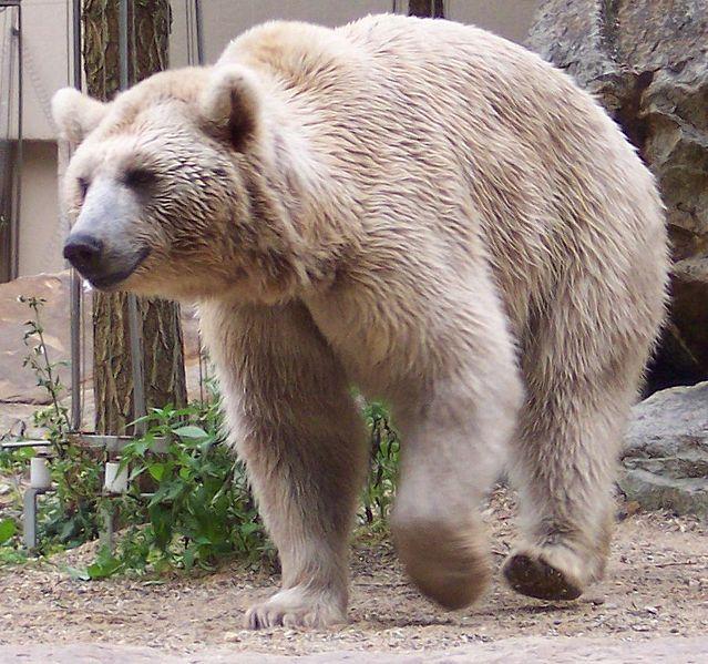 """Ursus arctos - это не белый медведь, это бурый медведь.  Ursus означает  """"медведь """" на латыни, a arctos..."""