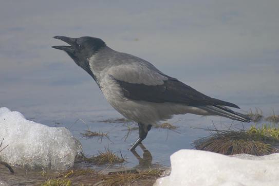 RUFOR.ORG - Показать сообщение отдельно - Птицы вокруг нас.