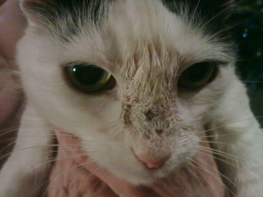 Короста на носу у кота