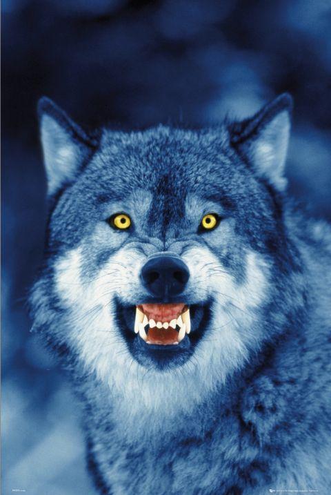фото волк с голубыми глазами