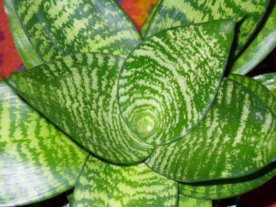 Домашний цветок щучий хвост уход в домашних условиях 122