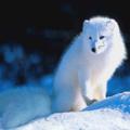 Инари - Белые лисы