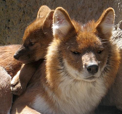 Пишет Korin Reina: Красный волк Помните, Р. Киплинг в своей книге ...