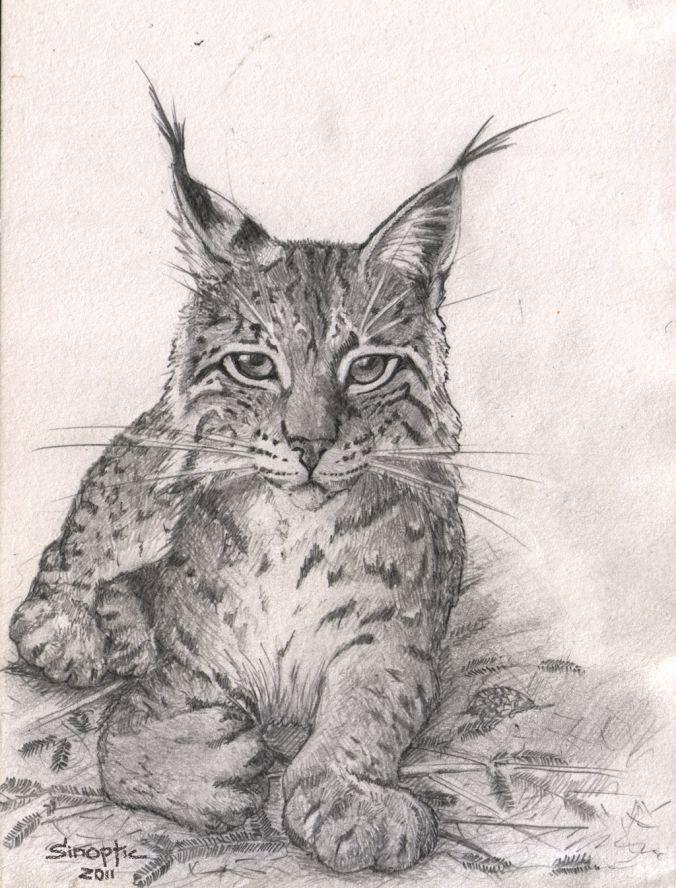 Фото как нарисовать рысь
