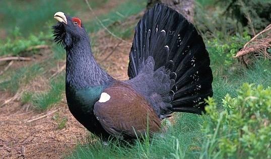 Глухарь полный размер фото Голоса и фотографии птиц.