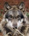 Тунгусская Волчица